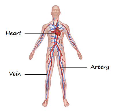 Circulatory system - Aerial Yoga